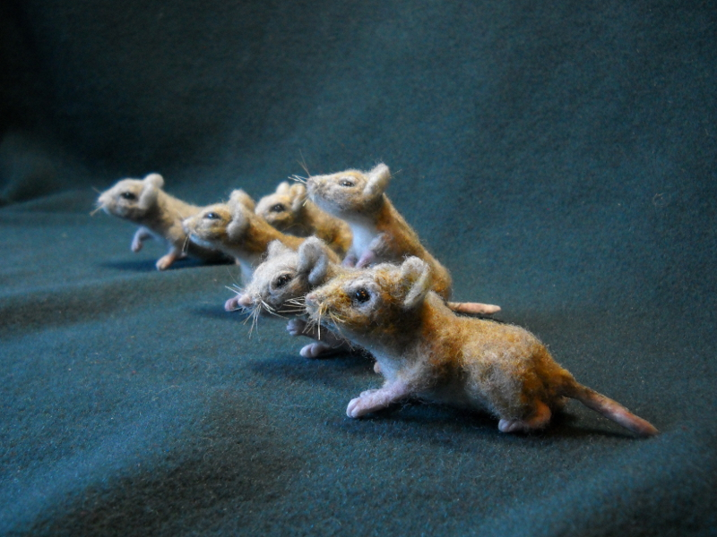 Mouse Litter 19 – All Grasshopper Mice